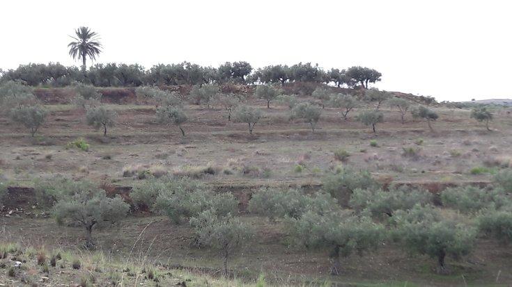 Palme über Olivenbäumen und abgeernteten Feldern